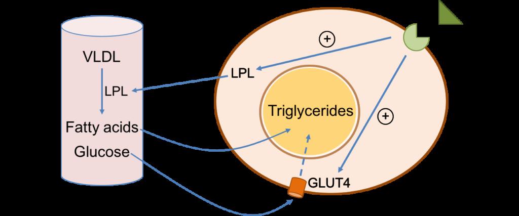 lipogénèse-lipogenesis
